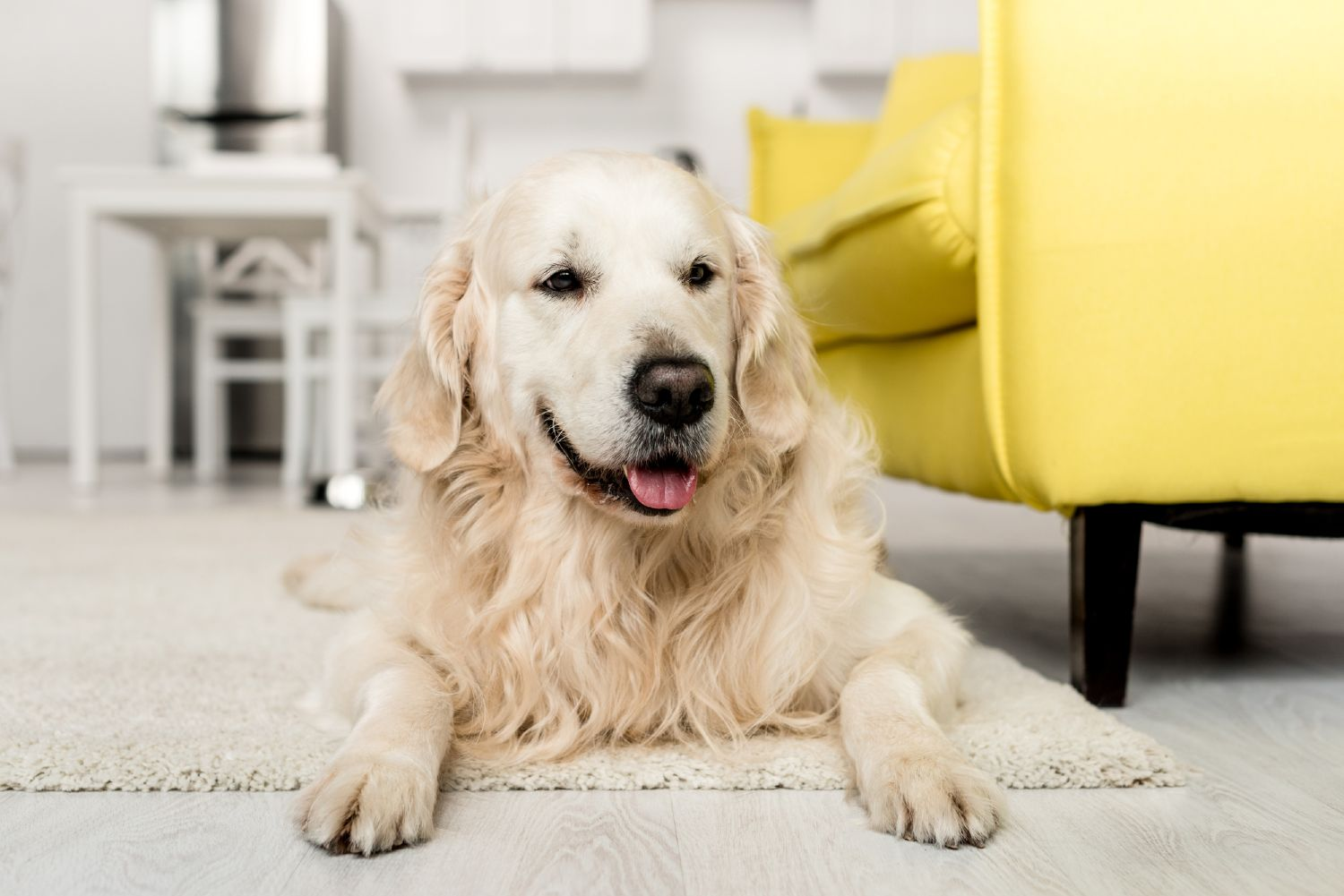 Dog resting on a floor with a yellow couch in the background