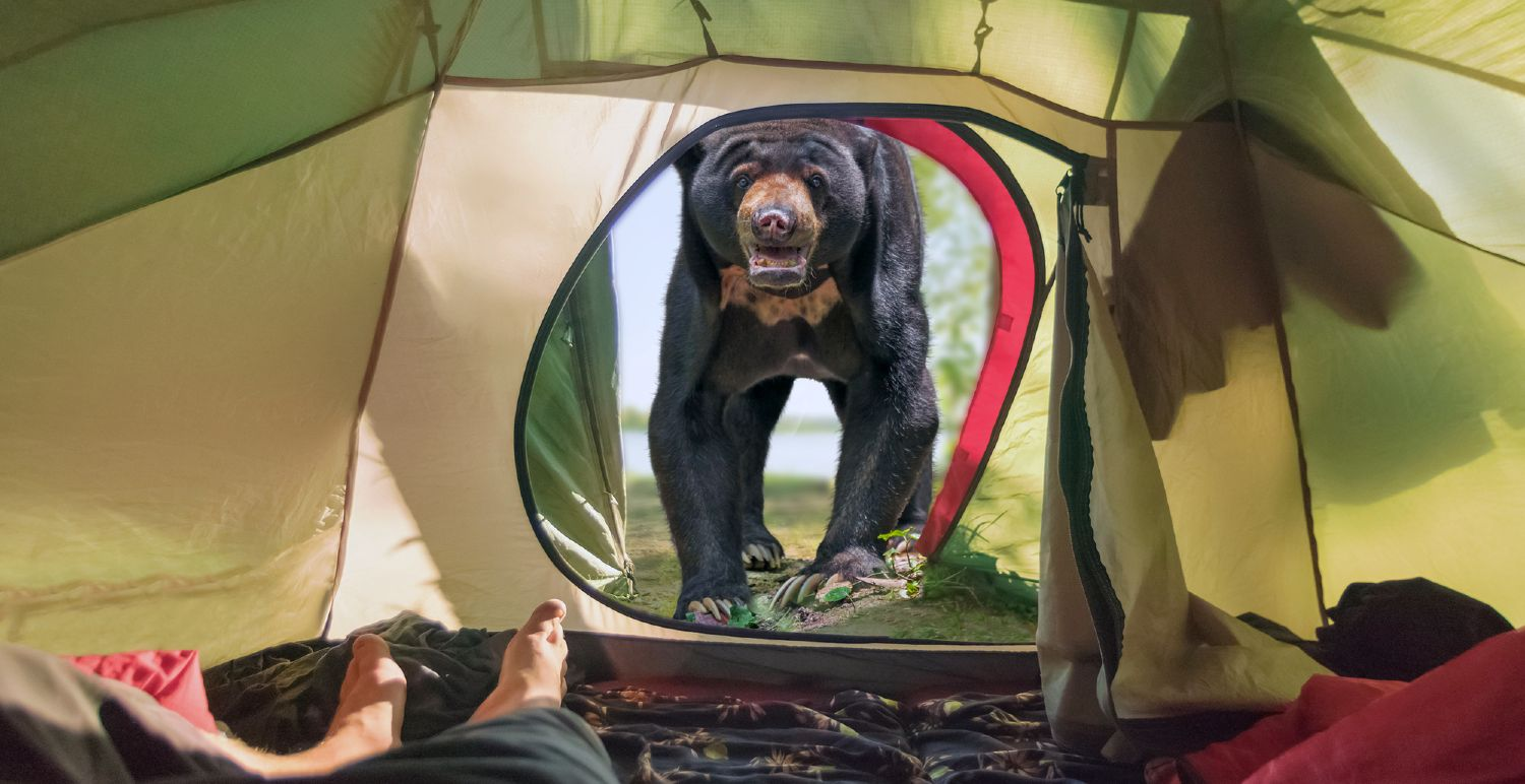 Bear outside a tent on a camp ground